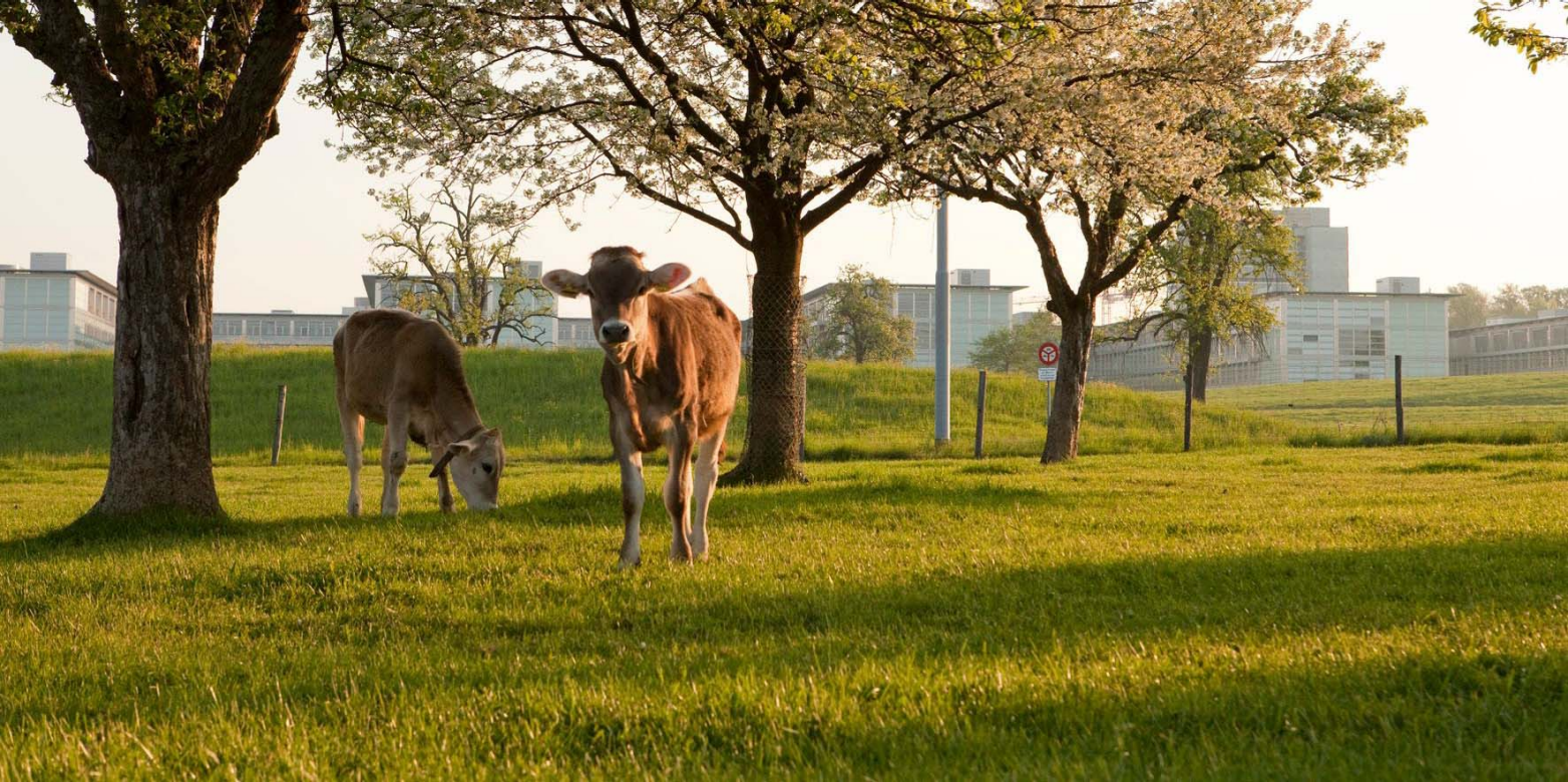 Cows in front of chemistry building